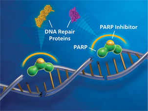 DNA repair proteins diagram